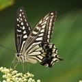 写真: ヤブガラシと蝶