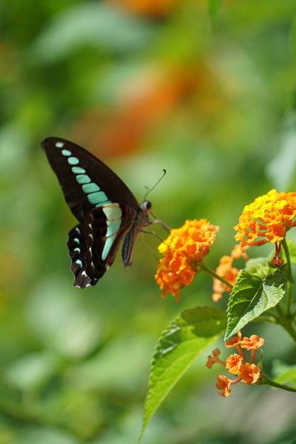 写真: 花とアオスジアゲハ