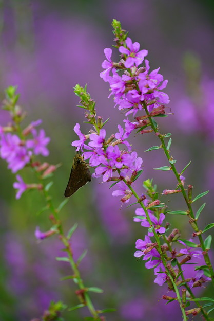 蝶とミソハギ