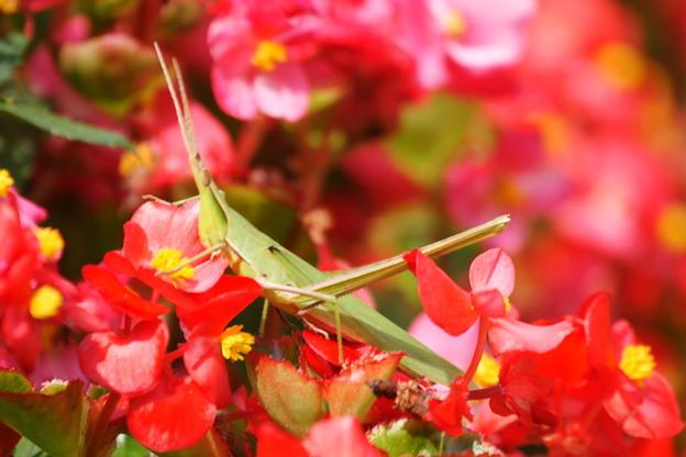 花とバッタ