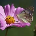 花とモンキチョウ