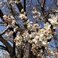 2016年の桜も3月に ~SakuSakura