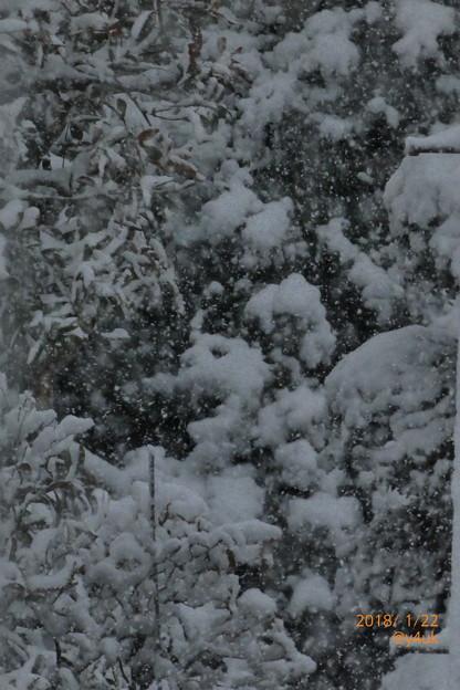 写真: 樹木にも葉にも降り積もる大雪~舞う天使たちが銀世界を作っていた~silent snow world~シャッター優先