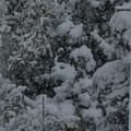 樹木にも葉にも降り積もる大雪~舞う天使たちが銀世界を作っていた~silent snow world~シャッター優先