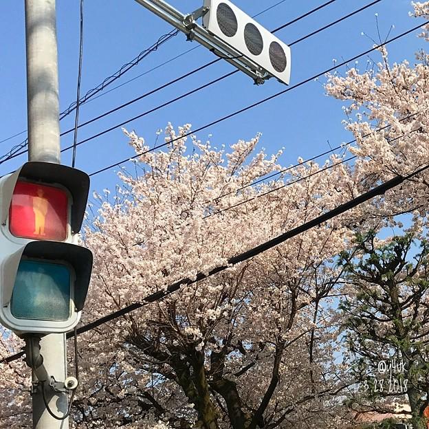 桜+青空+赤信号+LED信号+電線~2018.3.28桜満開旅その2~暑い23℃の中を湿布し今日しかない!命がけcherry blossom 3.28 Go!