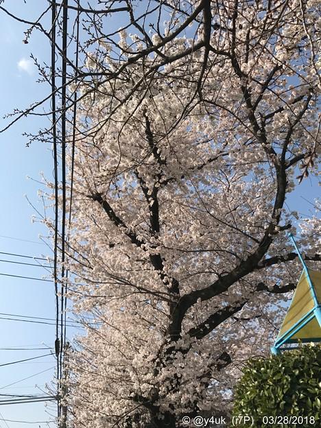 Photos: 桜満開+青空+電線 ~暑い気温の中で3.28.2018~2012年も同日満開でした