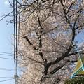 写真: 桜満開+青空+電線 ~暑い気温の中で3.28.2018~2012年も同日満開でした