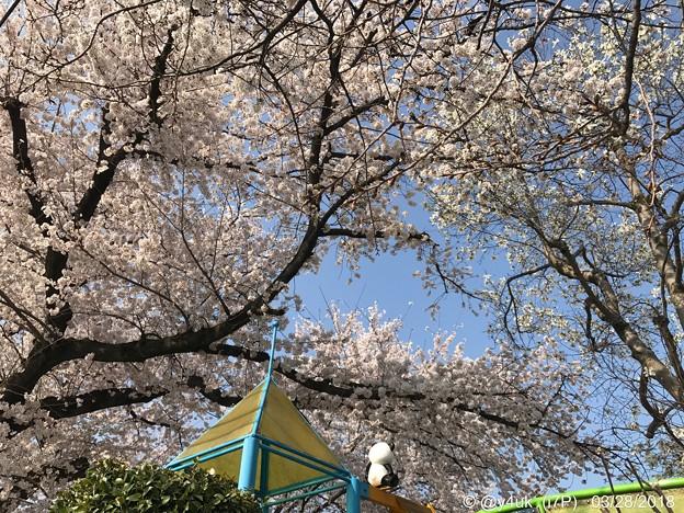 桜満開+青空をパンダくん今年もお花見る背中~何十年もそこから見守っているきみが大好き(^o^)ありがとう