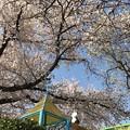 写真: 桜満開+青空をパンダくん今年もお花見る背中~何十年もそこから見守っているきみが大好き(^o^)ありがとう