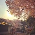 写真: Sunset sky with Heartwarming Cherryblossom ~逆光に照らされる桜満開と一期一会の出会い別れ~小さな神社にて-instagram ver-