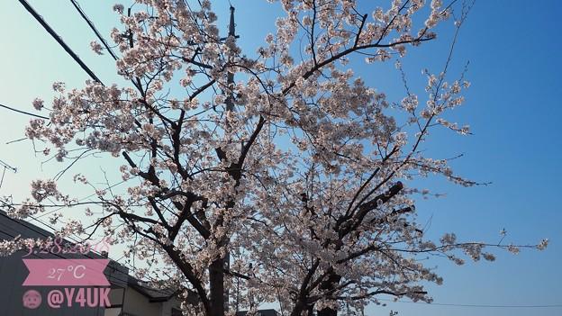 桜満開+青空OLYMPUSブルー!毎年何十年観てきた。でも今年は悲しい現実に涙。[OM-D E-M10MarkII, 12-40mmF2.8PRO]12mm(24mm)