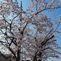 Photos: 桜満開+青空OLYMPUSブルー!毎年何十年観てきた。でも今年は悲しい現実に涙。[OM-D E-M10MarkII, 12-40mmF2.8PRO]12mm(24mm)