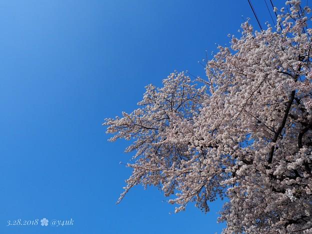 桜満開+OLYMPUSブルー=半分、青い。青空最高(°▽°) bluesky with cherryblossom [OM-D E-M10MarkII, 12-40mmF2.8PRO]絞り優先