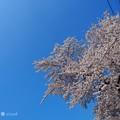 写真: 桜満開+OLYMPUSブルー=半分、青い。桜に青空最高(°▽°) bluesky with cherryblossom [OM-D E-M10MarkII, 12-40mmF2.8PRO]絞り優先