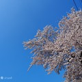 Photos: 桜満開+OLYMPUSブルー=半分、青い。桜に青空最高(°▽°) bluesky with cherryblossom [OM-D E-M10MarkII, 12-40mmF2.8PRO]絞り優先