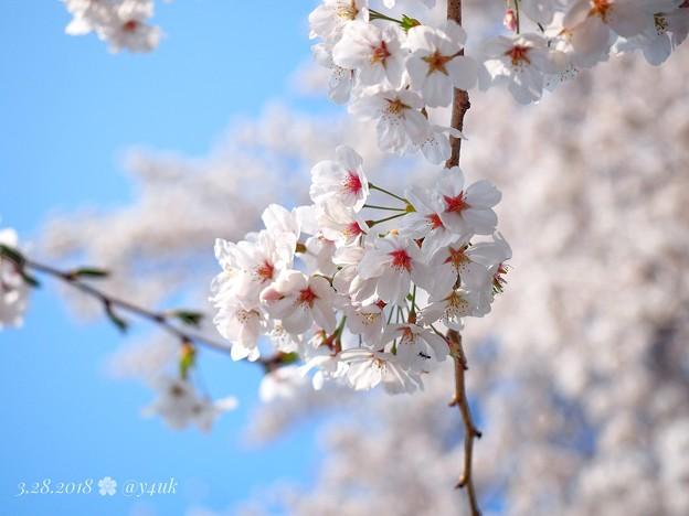 桜満開、赤い生命ふんわり青空~cherryblossom flowers, bluesky [OM-D E-M10MarkII, 12-40mmF2.8PRO]絞り優先