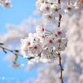 写真: 桜満開、赤い生命ふんわり青空~cherryblossom flowers, bluesky [OM-D E-M10MarkII, 12-40mmF2.8PRO]絞り優先