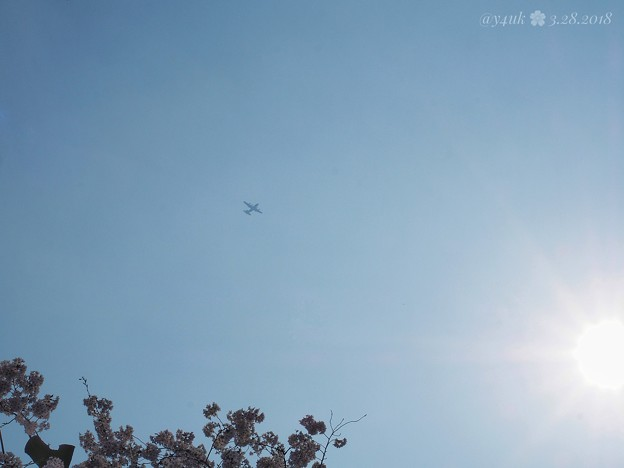 Photos: 春霞の空に飛行機ブーン~桜満開撮ってたら飛んでキター!~Airplane in the spring sky [OM-D E-M10II, 12-40mmF2.8PRO] 40mm(80mm)