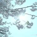 """写真: 逆光デイドリーム~透き通る桜満開~Cherryblossom in the """"daydream"""" [OM-D E-M10MarkII, 12-40mmF2.8PRO] F22 32mm(64mm)"""