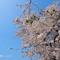 半分、青い、半分、桜満開~青空&ピンク花コントラスト最高~BlueSky & Cherryblossom [OM-D E-M10MarkII, 12-40mmF2.8PRO]