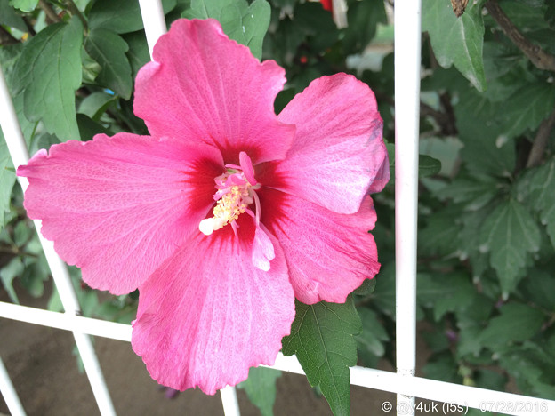 """Photos: 夏沖縄的ハイビスカスを「翁長知事の突然の訃報に大変驚いております…沖縄の為に尽くしてこられ…ご遺志がこの先も受け継がれ…」「メイクを直すほど号泣した優しい言葉」""""安室奈美恵""""追悼。良い人はいつも早い…"""