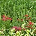 quickの日:緑の中、懸命に咲く彼岸花たち~貴重な秋晴れ~旅の途中、こんなとこにポツンと少なくも健気に咲く赤(カープ優勝9.26)、発見し立ち止まりzoom shot!(68mm)コンデジの力、晴天