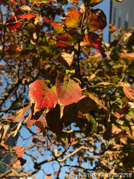 街路樹の葉が色づき火照って恋した紅葉、立ち止まり写。追い越す人々の会話が穏やか~音楽趣味が気が合う人と話せた日小さな幸せ出逢い一瞬それだけで生きる勇気価値観優しい会いたかった~「北海道地震から2か月」