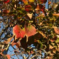 写真: 街路樹の葉が色づき火照って恋した紅葉、立ち止まり写。追い越す人々の会話が穏やか~音楽趣味が気が合う人と話せた日小さな幸せ出逢い一瞬それだけで生きる勇気価値観優しい会いたかった~「北海道地震から2か月」