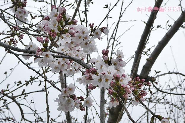 桜2019まだ五分咲き、花曇り、花冷え。それでも綺麗に儚く咲いてくれる毎年の楽しみ~雨がちらつく青空じゃないから映えない…東京満開ここはまだ。コンデジでズーム十分綺麗!(82mm/F4.7:TZ85)