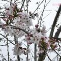 Photos: 桜2019まだ五分咲き、花曇り、花冷え。それでも綺麗に儚く咲いてくれる毎年の楽しみ~雨がちらつく青空じゃないから映えない…東京満開ここはまだ。コンデジでズーム十分綺麗!(82mm/F4.7:TZ85)