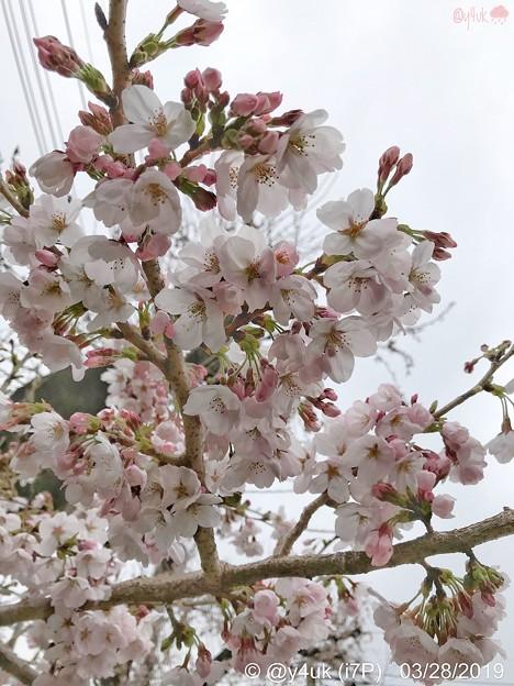 """Photos: 28旅先その2.毎年恒例2019""""平成最後""""の桜☆花曇り花冷え、まだ六分咲きでしたがやはり毎年飽きずとても好きです桜と様な人~iPhone7Plusでも写りいい~ピンクはホワイトいるから優しく花は咲く"""