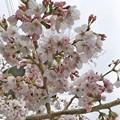 """28旅先その2.毎年恒例2019""""平成最後""""の桜☆花曇り花冷え、まだ六分咲きでしたがやはり毎年飽きずとても好きです桜と様な人~iPhone7Plusでも写りいい~ピンクはホワイトいるから優しく花は咲く"""