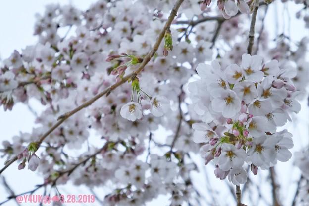 "Photos: 3.28旅先その2.毎年恒例2019""平成最後""の桜☆花曇り花冷えあらやだ雨。満開の様なモリモリ桜☆まだ七分咲きでしたがやはり毎年飽きず一途に好き~28日ちょうど1ヶ月前の写真(335mm:TZ85)"
