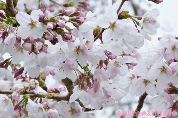 """3.28旅先その2.毎年恒例2019""""平成最後""""の桜☆ピンクとホワイト色合いが好き誰か柄ワンピ着てほしい♪花曇り花冷えまだ七分咲きでしたが毎年飽きず一途~ちょうど1ヶ月前の写真(208mm:TZ85)"""