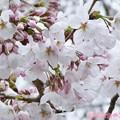 "Photos: 3.28旅先その2.毎年恒例2019""平成最後""の桜☆ピンクとホワイト色合いが好き誰か柄ワンピ着てほしい♪花曇り花冷えまだ七分咲きでしたが毎年飽きず一途~ちょうど1ヶ月前の写真(208mm:TZ85)"