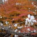 紅葉と冬さくら