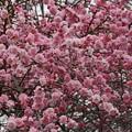 写真: しだれみだれ咲き