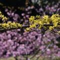 写真: サンシュユと河津桜1