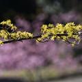 写真: サンシュユと河津桜2