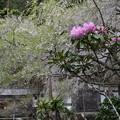 桜の後はシャクナゲ!