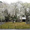 常照皇寺桜