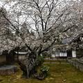 老いても桜