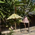 写真: 傘おみくじ