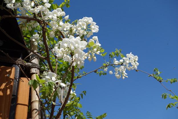 写真: 白藤と青空