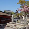 写真: 宮島の春