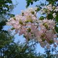 写真: 夏の花「百日紅」