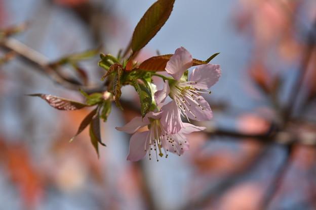 咲きました「ヒマラヤ桜」