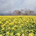 Photos: 虹と菜の花