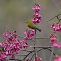 寒緋桜とペアメジロ