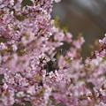 ヒヨと河津桜
